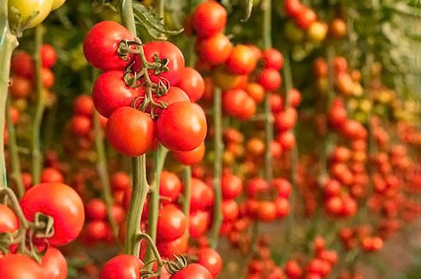 Помидорчики без химии и как ускорить их созревание Когда-то давно опытная в сельском хозяйстве пожилая сотрудница просвещала меня, как надо сажать помидоры: выкопать лунку, довольно глубокую,