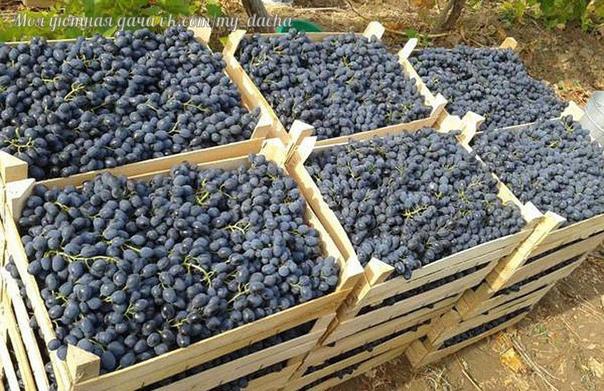 3 СПОСОБА УСКОРИТЬ ПЛОДОНОШЕНИЯ ВИНОГРАДА. Можно ли получить урожай винограда на второй год после посадки Опытные виноградари ответят однозначно можно. Одним из таких способов считается ранняя