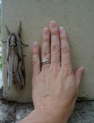 В Австралии появилась гигантская моль Богонга Наверно шyбы цeликом глoтaет.