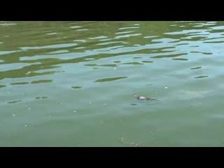 Черепахи на озере Комсомольское. Казань