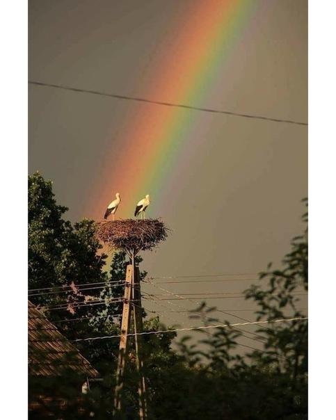 После дождя - аисты и радуга Красота (источник: gofazenda)