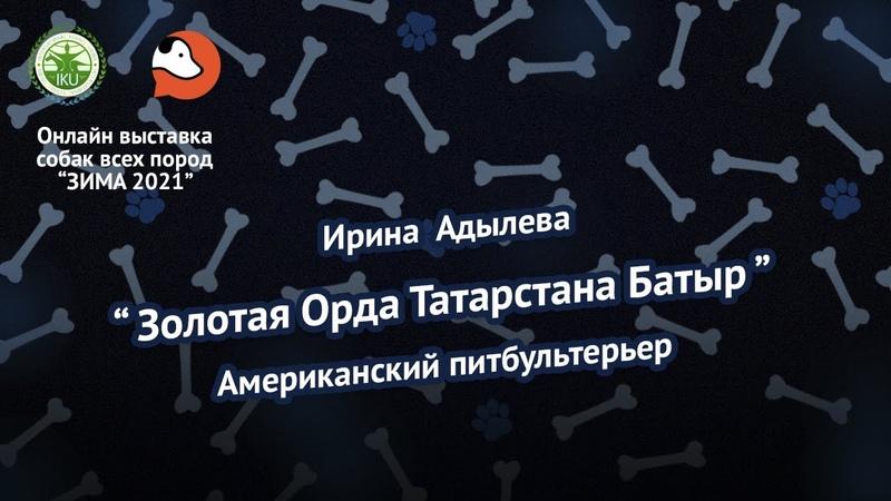 Ирина Адылева Американский питбуль терьер Золотая Орда Татарстана Батыр Shorts