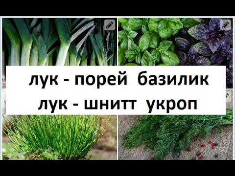 Лук порей Базилик Шнитт лук Укроп