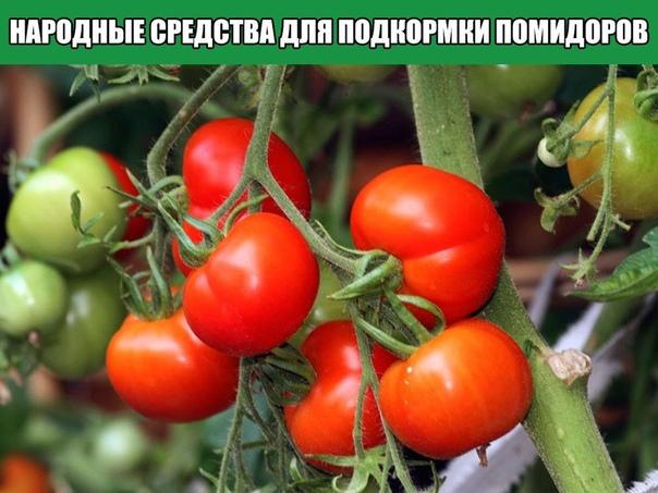 Народные средства для подкормки помидоров самые лучшие рецепты Первый раз помидоры подкармливают спустя 14-16 дней после высадки рассады. Это касается растений, выращиваемых как в открытом