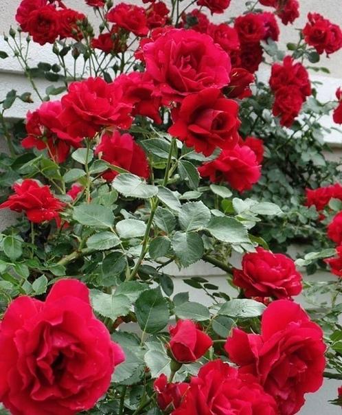 Какое пышное цветение, букеты Роза «Амадеус» среди садоводов особенно любима. Бутоны окрашены в насыщенный малиновый цвет, лепестки имеют бархатистую поверхность. Форма бутона удлиненная,