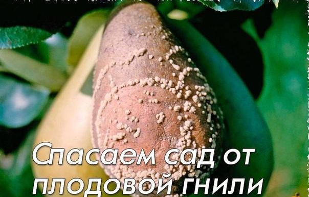 Спасаем сад от плодовой гнили