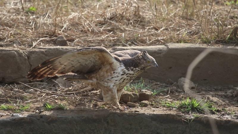 Хохлатый осоед Oriental honey buzzard (Pernis ptilorhynchus)