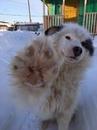 Героический поступок пса, спасшего жительницу якутского села