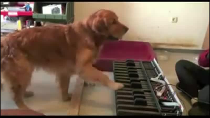 Абсолютный слух собаки