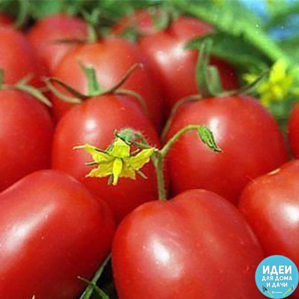 Подкармливать помидоры следует через 2 недели с момента посадки и до середины августа