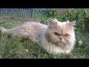 Персидский кот Отдых на природе Persian cat
