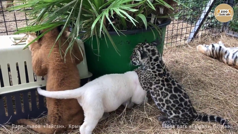 Лев, тигр и ягуар - детский сад Тайгана. Крым   Lion, tiger and jaguar.