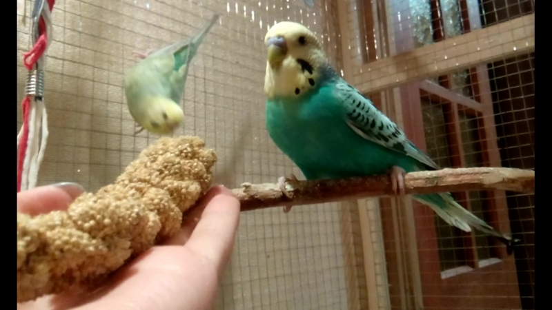 Мои птички кушают Чумизу.Волнистые попугайчики.Птички.Волнистые попугаи.