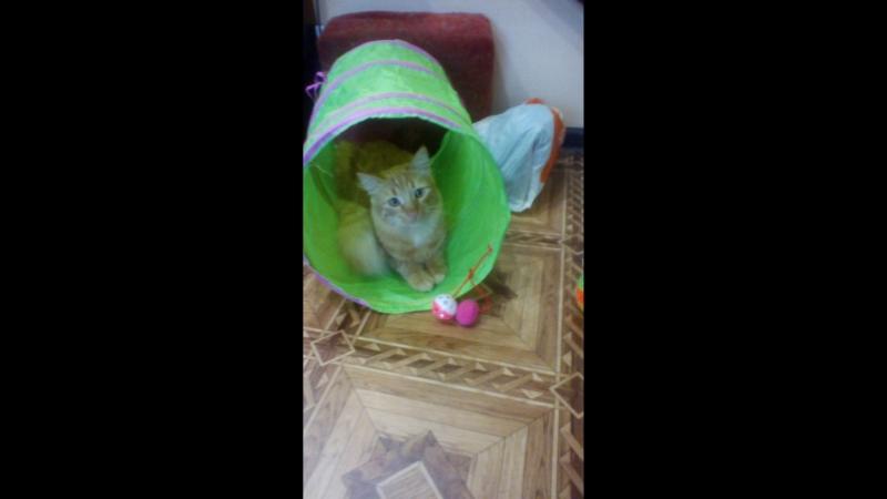 Коты пробуют новый туннель.
