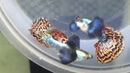 гуппи -- -- -- Super Dumbo Mosaic Guppy