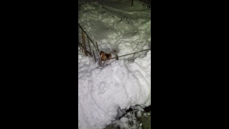 прогулка Майлы-в клумбе,там где больше снега(21.03.18)