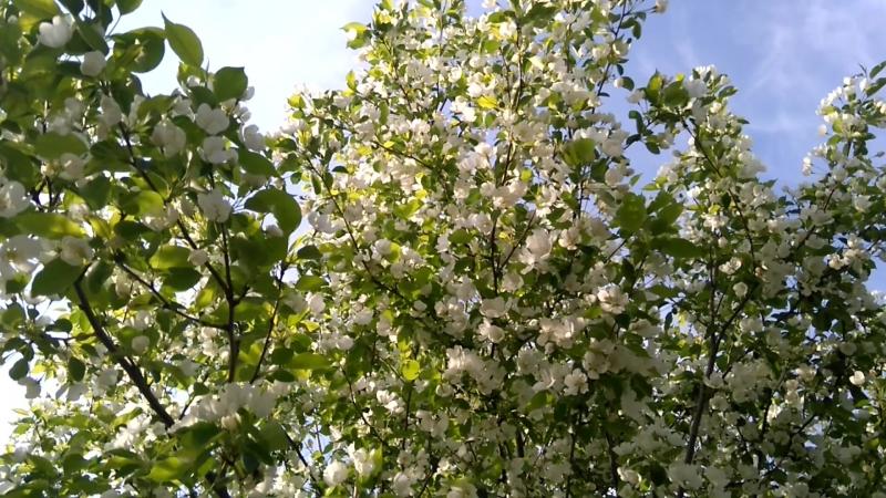 Футаж Ветви яблони1