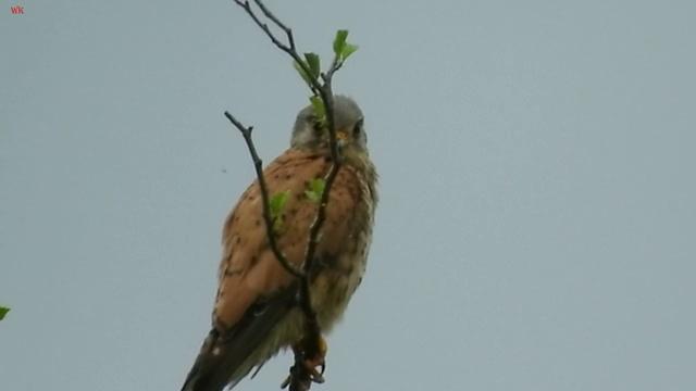 Обыкнове́нная пустельга (лат. Falco tinnunculus) (нем. Turmfalke)