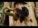 Fight for the title of absolute master of the forest Woodpecker vs Snake !! ))