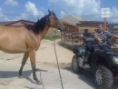 Молодая лошадь и квадрик