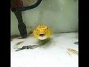 Бесстрашная рыба, которая пожирает все во круг