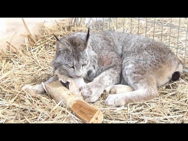 Max Canada Lynx Honeysuckle Enrichment