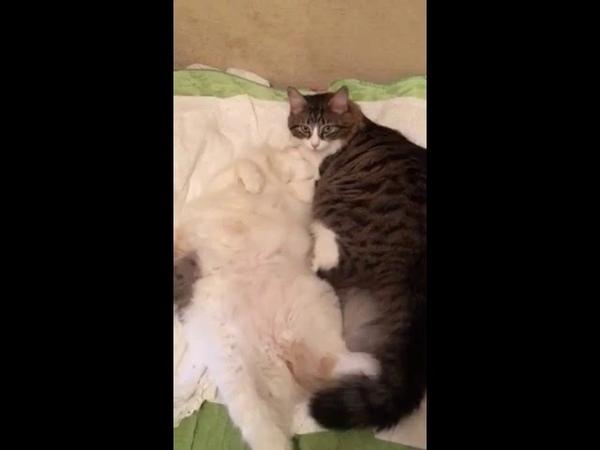 Кошечка Папайя (теперь Понька) и Кошка Тропикана (теперь Риса) живут в одном дома (видео из дома)