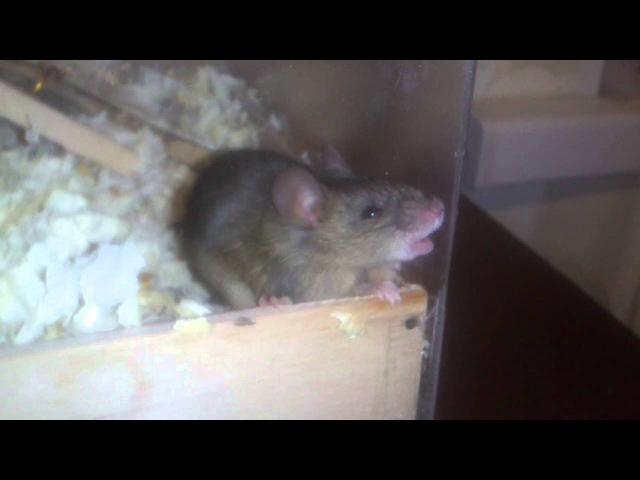 Мышь пытается грызть