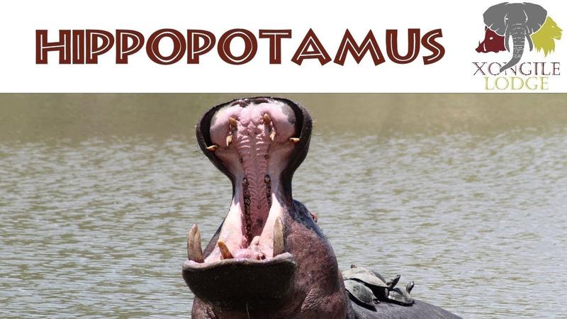 Xongile Lodge Safari: Hippo Terrapin Taxi