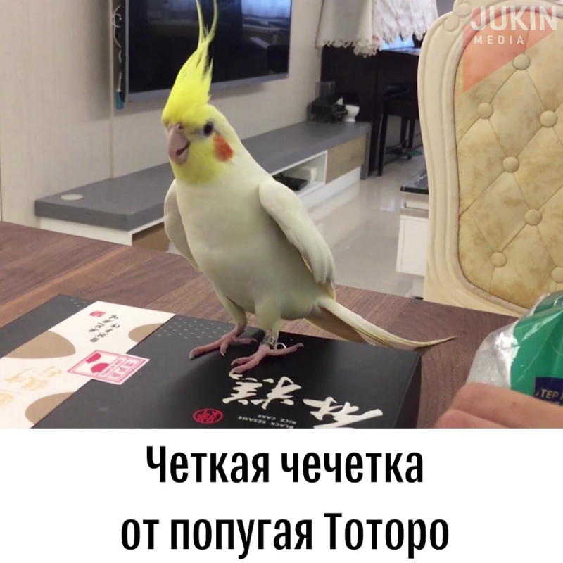 Чечетка от попугая Тоторо