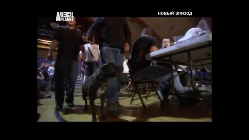 Д/С На свободу с питбулем 11 серия (2010г)
