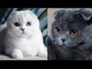 Мои шотландские кошки много фото