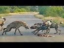 Турист оказался в самом центре разборки за добычу между дикими собаками и гиенами в Кении