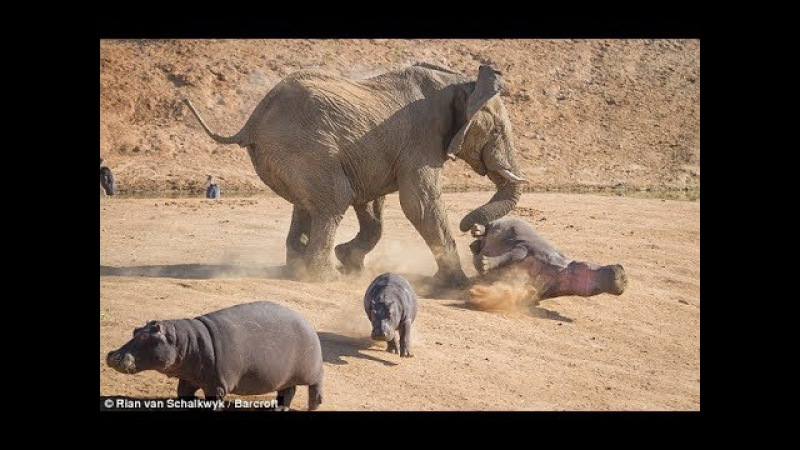 Mother Elephant Defends Her Baby From Two Hippo Elephants rescue Elephants from Animal Attack
