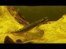 El gobio arcoiris (Stiphodon ornatus) Ficha Técnica