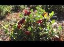 Как правильно выращивать и черенковать бруснику