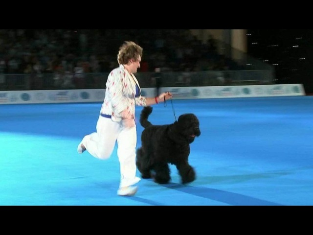 Лучшей собакой выставки «World Dog Show 2016», проходящей вМоскве, стал русский черный терьер. Новости. Первый канал