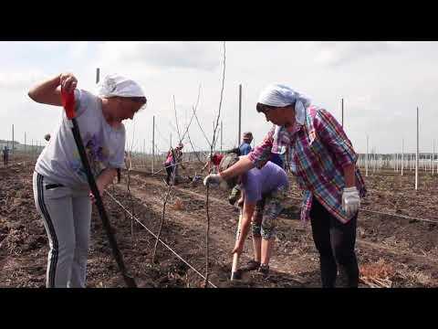 Вблизи Нового Оскола высадили молодой яблоневый сад