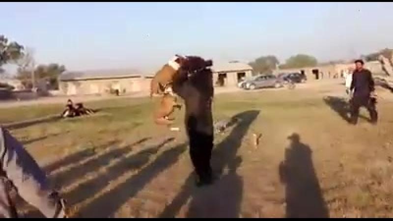 притравка бультерьеров в Пакистане на медведя. Смотреть до конца))Там самое интересное
