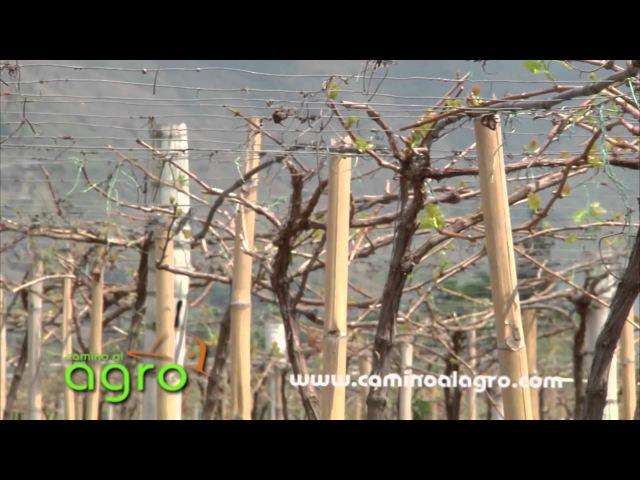 Como Cultivar Uvas de Mesa en Paises Tropicales - TvAgro por Juan Gonzalo Angel