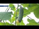 В Донецке собрали первый урожай огурцов в этом году