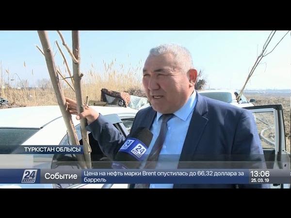 Түркістан облысында алғаш өсіріліп жатқан павловния ағашы туралы не білеміз