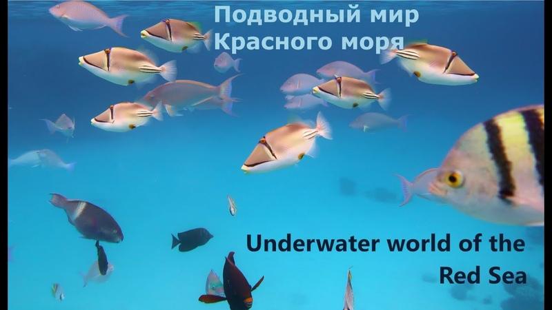 Подводный мир Красного моря. Бухта Наама Бей.