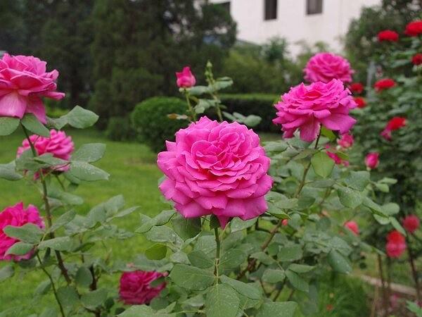 Чем подкормить розы для пышного цветения Роза, она же Королева сада, любимица садоводов. Чтобы насладиться ее пышным и ароматным цветением, придется приложить немного усилий. Результат будет