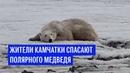Жители Камчатки спасают полярного медведя