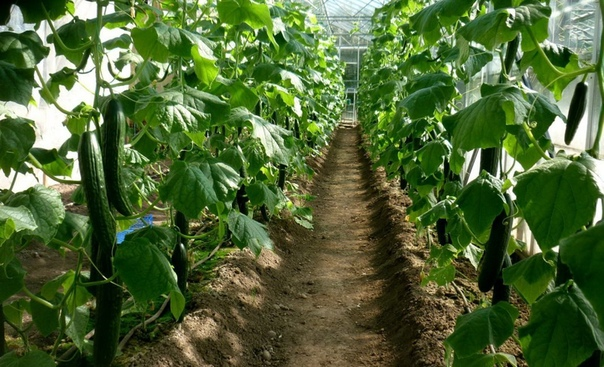 Основные ошибки при выращивании огурцов. Продолжение. 7. Экологичность прежде всего Еще одна ошибка выращивать «экологически чистые» овощи без применения регуляторов роста и всякой защиты от