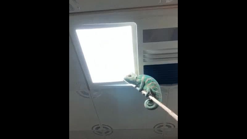 Зачем нужен домашний хамелеон