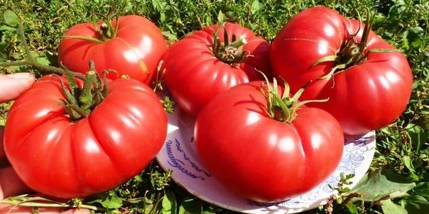 На сухарях мои помидоры растут как сумасшедшие. Хочу рассказать о том, как я простым способом смогла повысить урожайность своих помидоров. На протяжении нескольких предыдущих лет при высадке