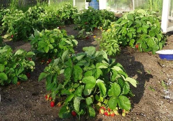 Правило четырех грядок для клубники Долгое выращивание клубники и садовой земляники на одном месте приводит к истощению почвы. Растения с каждым годом все больше подвергаются различным