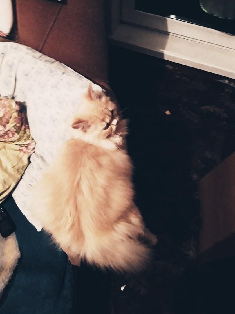 Найдена кошка в посёлке Акулово , на
